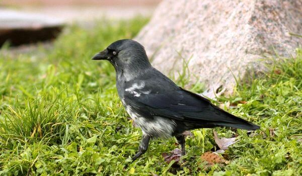 Фото: Птица галка