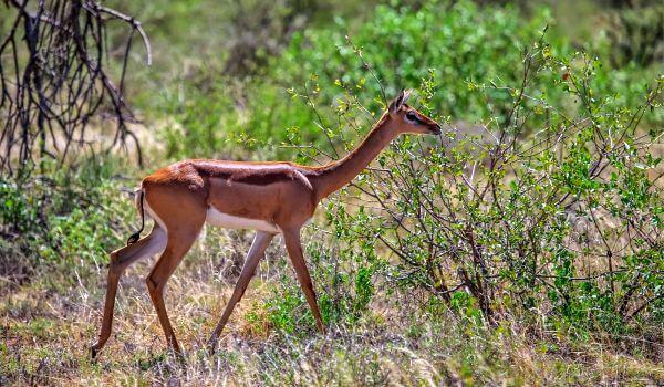 Фото: Жирафовая газель геренук