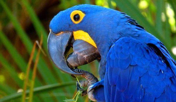 Фото: Гиацинтовый ара