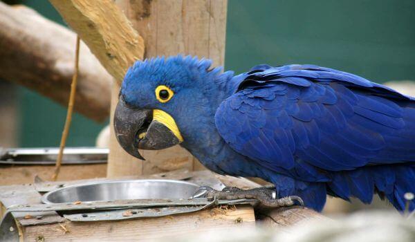 Фото: Птица гиацинтовый ара