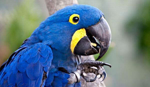 Фото: Гиацинтовый голубой ара