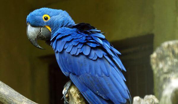 Фото: Большой гиацинтовый ара