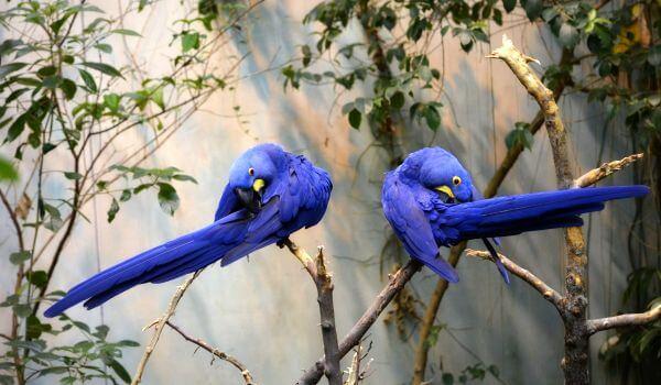 Фото: Гиацинтовые ара