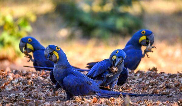 Фото: Попугай гиацинтовый ара