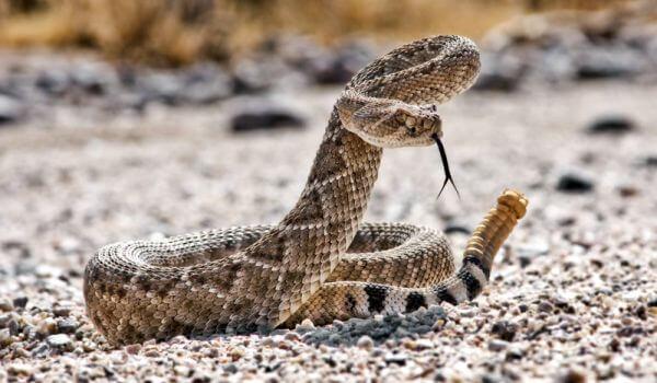 Фото: Ядовитая гремучая змея