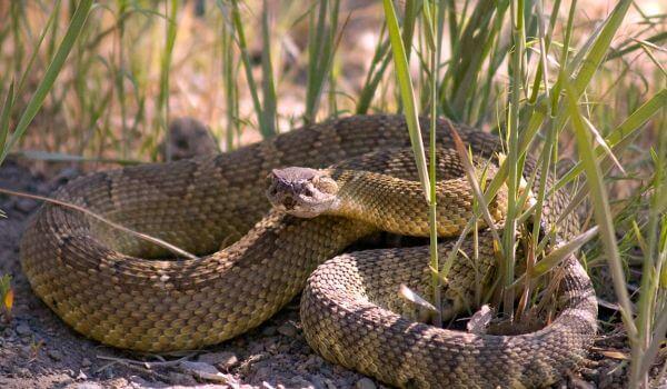 Фото: Опасная гремучая змея