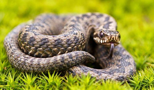 Фото: Ямкоголовая гремучая змея