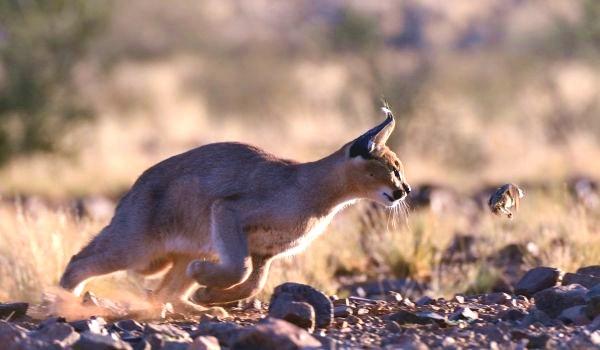 Фото: Каракал пустынная рысь