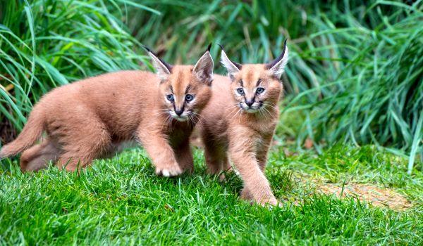 Фото: Котята каракала