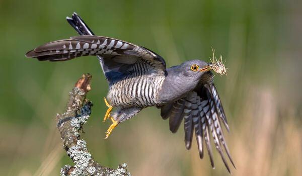 Фото: Кукушка птица