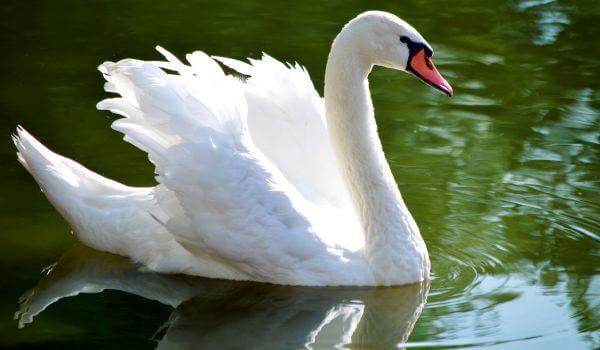 Фото: Лебедь щипун из Красной книги