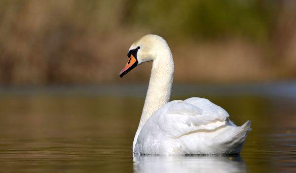 Фото: Лебедь шипун