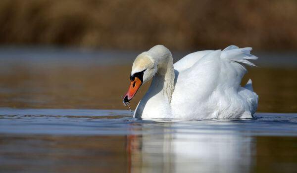 Фото: Птица лебедь щипун