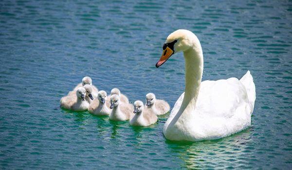 Фото: Птенцы лебедя щипуна