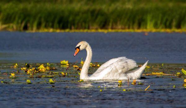 Фото: Птица лебедь шипун