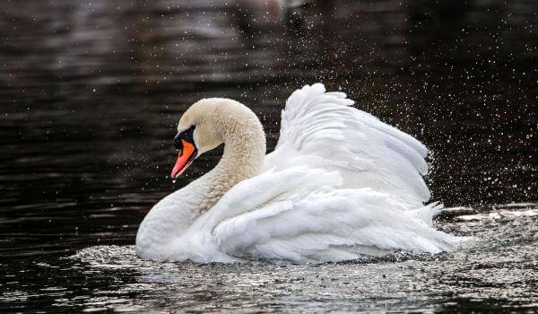 Фото: Белый лебедь щипун