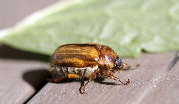 Фото: Членистоногое майский жук