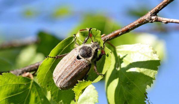 Фото: Насекомое майский жук