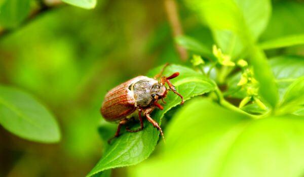 Фото: Майский жук весной