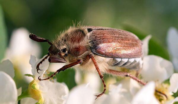 Фото: Большой майский жук