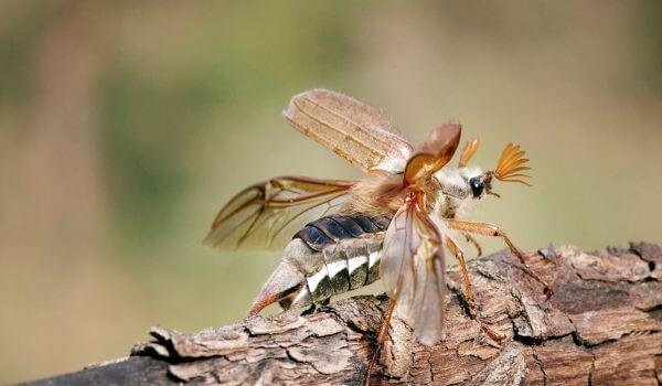 Фото: Майский жук животное