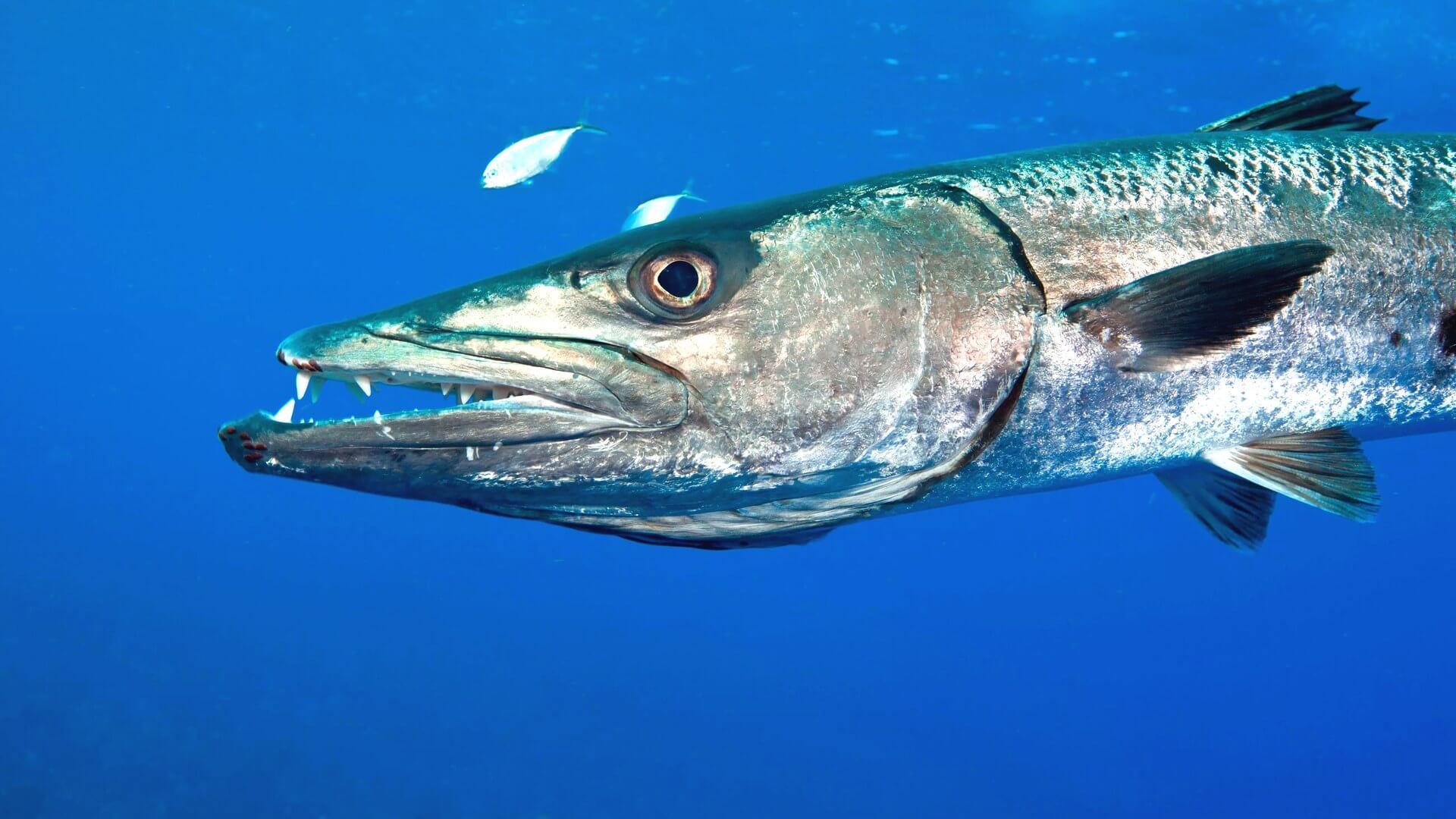 Рыба барракуда в картинках