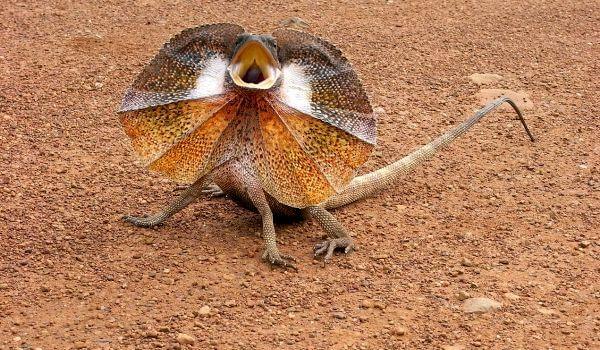 Фото: Плащеносная ящерица Австралия