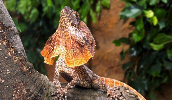Фото: Плащеносная ящерица в природе