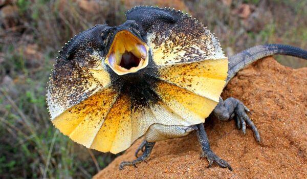 Фото: Плащеносная ящерица пресмыкающееся