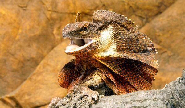 Фото: Плащеносная ящерица