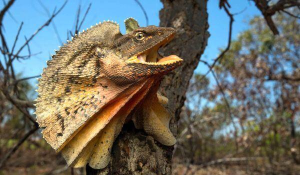Фото: Плащеносная ящерица в Австралии
