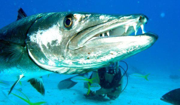 Фото: Рыба барракуда в Тихом океане