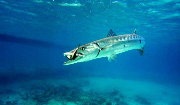 Фото: Рыба барракуда