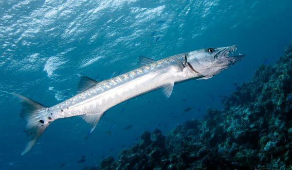 Фото: Рыба барракуда в Красном море