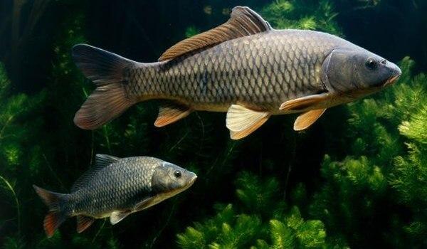 Фото: Рыба карп