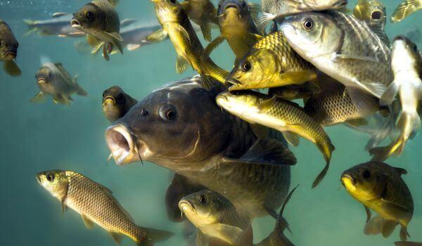 Фото: Рыба карп в воде