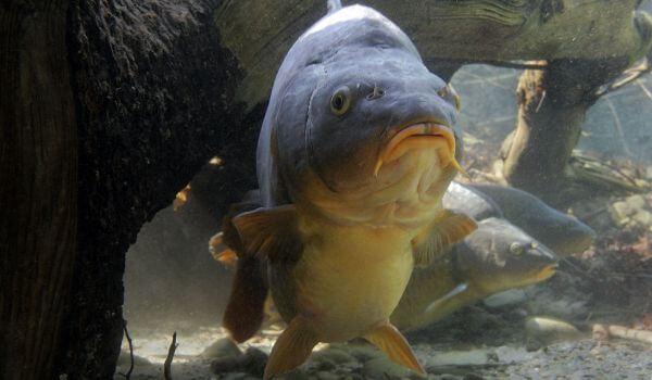 Фото: Карп речная рыба