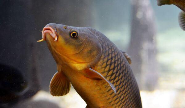Фото: Рыба Карп в России
