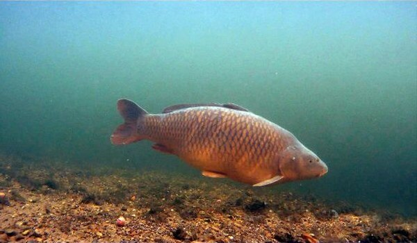 Фото: Рыба семейства карпов