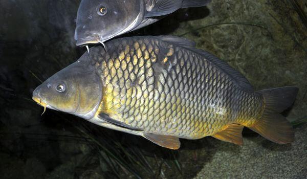 Фото: Пресноводная рыба карп
