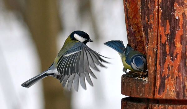 Фото: Птицы синицы