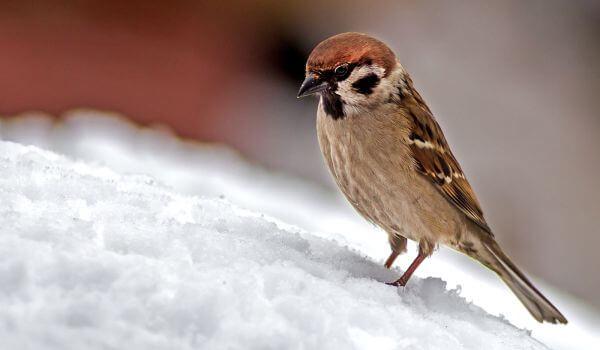 Фото: Птица воробей