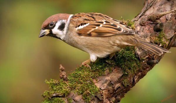 Фото: Птица домовой воробей