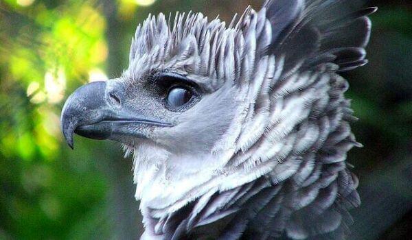 Фото: Птица южноамериканская гарпия