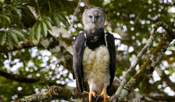 Фото: Южноамериканская гарпия