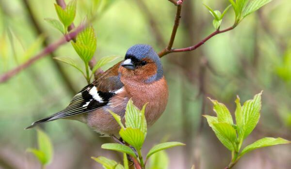 Фото: Птица зяблик