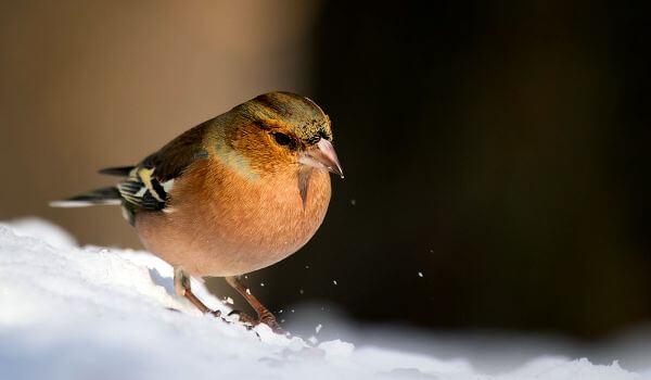 Фото: Зяблик зимой