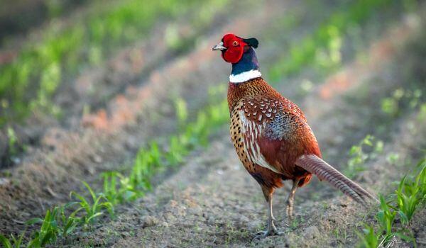 Внешность фазана: фото и уход