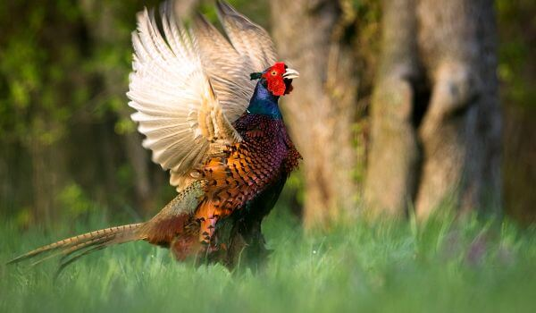Фото: Красивая птица фазан