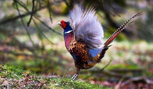 Фото: Птица фазан